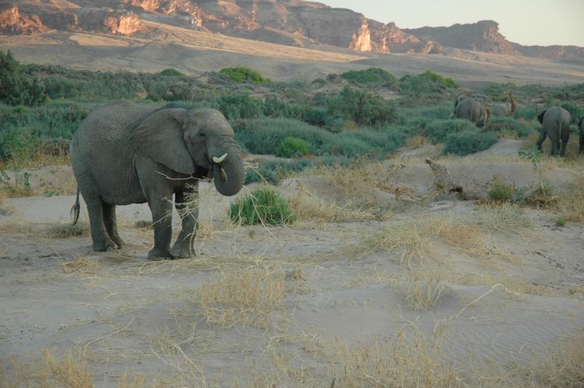 Desert elephant in Namibia (c) Elissa Leibowitz Poma